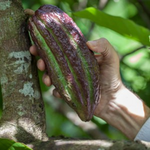 Will  testing raw cocoa